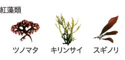 紅藻類 ツノマタ キリンサイ スギノリ