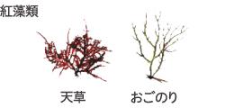 紅藻類 天草 おごのり